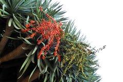 Dragon tree, Dracaena draco - Madeira stock images