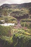 Dragon Tree Drago Milenario famoso em Icod de los Vinos Tenerife imagens de stock