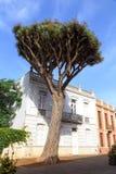 Dragon tree Royalty Free Stock Photo