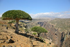 Dragon tree forest in Dixam canyon, Socotra Island, Yemen Royalty Free Stock Photo