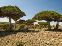 Dragon tree forest, endemic plant of Socotra island. Yemen Stock Image