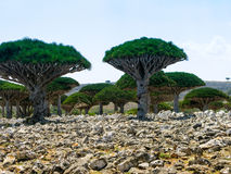Dragon tree forest, endemic plant of Socotra island Yemen Royalty Free Stock Image