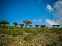 Dragon tree forest at plateau Dixam , endemic plant of Socotra island, Yemen Royalty Free Stock Images
