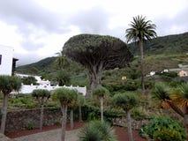 Dragon Tree Housand-ano-velho em Tenerife, Ilhas Canárias, Espanha foto de stock royalty free