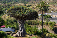 Dragon Tree of Icod de los Vinos Royalty Free Stock Photos