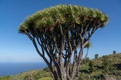 Dragon tree on la palma canary Islands royalty free stock photo