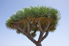 Dragon tree at La Palma, Spain Royalty Free Stock Image