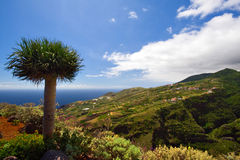 Dragon Tree and ocean view. View over the west coast of La Palma, dragon tree in foreground stock images