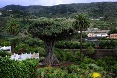 Dragon Tree Royalty Free Stock Image