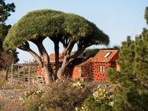 Dragon tree with red house at La Palma Royalty Free Stock Photo