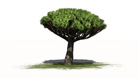 Dragon Tree - separated on white background Royalty Free Stock Photo