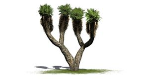 Dragon Tree - separated on white background Royalty Free Stock Image