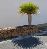 Dragon tree. Royalty Free Stock Images