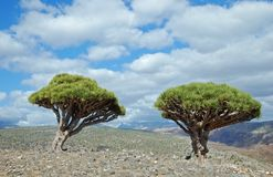 Dragon tree on Socotra Royalty Free Stock Images