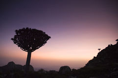 Dragon tree sunset Stock Photography