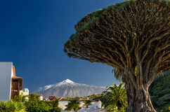 Dragon tree and Teide Stock Photo