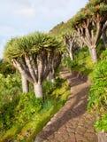 Dragon tree walk Stock Photo