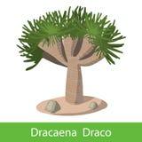 Dragon tree on a white background Stock Photos
