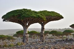 Endemic Dragon tree of Socotra Island on Yemen. Dragon trees at Dixam plateau Socotra Island shown at sunset, Yemen, Africa Stock Photo