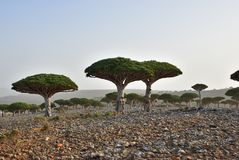 Endemic Dragon tree of Socotra Island on Yemen. Dragon trees at Dixam plateau Socotra Island shown at sunset, Yemen, Africa Royalty Free Stock Photos