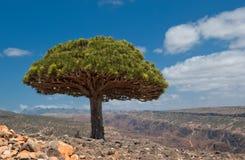 Dragon trees at Dixam plateau, Socotra Island, Yemen royalty free stock photos