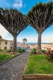 Dragon Trees en el pueblo de Tenerife Foto de archivo libre de regalías