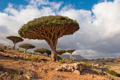 Dragon trees at Homhil plateau, Socotra, Yemen Stock Image