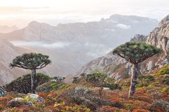 Dragon Trees In Socotra Mountains Royalty Free Stock Image