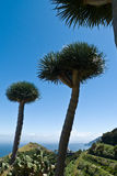 Dragon trees on the island of La Palma Stock Image