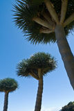 Dragon trees on the island of La Palma Royalty Free Stock Photography