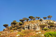 Dragon trees on the Plateau Dixam in Socotra island, Yemen stock photos