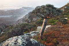 Dragon trees, Socotra Island, Yemen Royalty Free Stock Photography