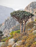 Dragon trees, Socotra Island, Yemen Stock Photos