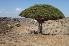 Dragon trees, Socotra Island, Yemen. Dragon trees - Dracaena cinnabari - Dragon's blood - endemic tree from Soqotra, Yemen Stock Photos