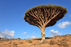 Dragon trees, Socotra Island, Yemen. Dragon trees - Dracaena cinnabari - Dragon's blood - endemic tree from Soqotra, Yemen Royalty Free Stock Photo