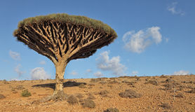 Dragon trees, Socotra Island, Yemen. Dragon trees - Dracaena cinnabari - Dragon's blood - endemic tree from Soqotra, Yemen Stock Images