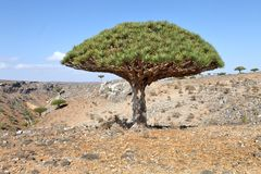 Dragon trees, Socotra Island, Yemen Royalty Free Stock Photo
