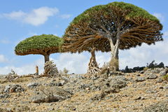 Dragon trees, Socotra Island, Yemen. Dragon trees - Dracaena cinnabari - Dragon`s blood - endemic tree from Soqotra, Yemen Royalty Free Stock Images