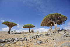 Dragon trees, Socotra Island, Yemen. Dragon trees - Dracaena cinnabari - Dragon`s blood - endemic tree from Soqotra, Yemen Stock Images