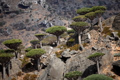 Dragon trees in Socotra mountains Royalty Free Stock Photo