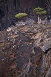 Dragon trees in Socotra mountains Stock Photos
