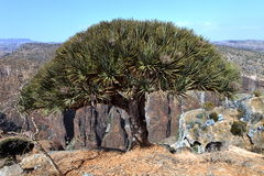 Dragon trees in Socotra mountains Stock Image