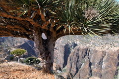 Dragon trees in Socotra mountains Stock Images