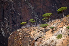 Dragon trees in Socotra mountains Royalty Free Stock Photos