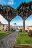 Dragon Trees in Tenerife village Royalty Free Stock Photo