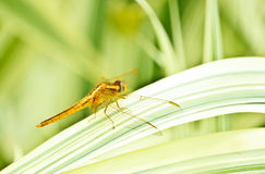 Dragonefly in a small garden Stock Image