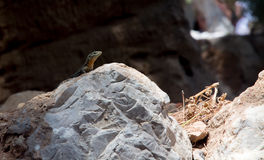 Dragonera-Eidechsen Podarcis-lilfordi Lizenzfreie Stockbilder