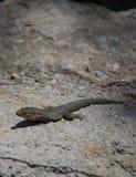 Dragonera-Eidechsen Podarcis-lilfordi Lizenzfreie Stockfotos