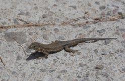 Dragonera-Eidechsen Podarcis-lilfordi Stockfoto