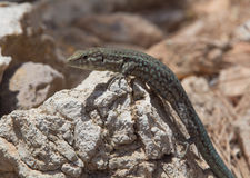 Dragonera-Eidechsen Podarcis-lilfordi Stockfotografie